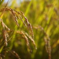 デトックス効果の高い玄米