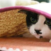 布団から出たくない猫
