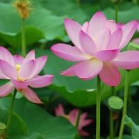 蓮の美しい花