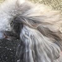まるの耳の毛内側